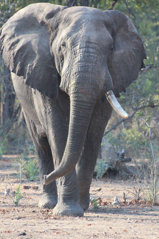 Elephant in Liwonde, Malawi