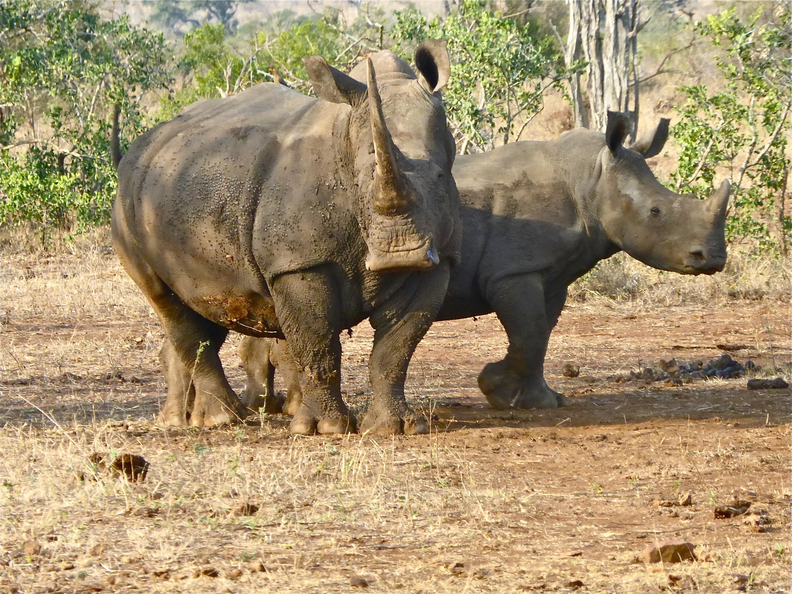 essay on rhinoceros